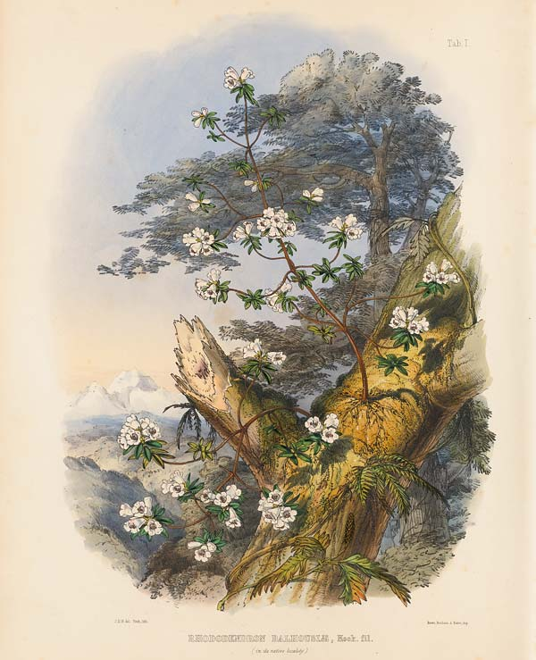 Frontispiece from The Rhododendrons of Sikkim-Himalaya
